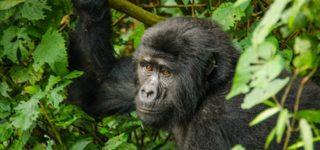 4 Days Gorilla Trek