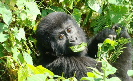 5 Days Gorilla & Wildlife Safari Uganda