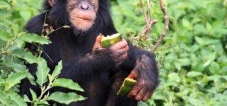 5 Days Chimpanzee