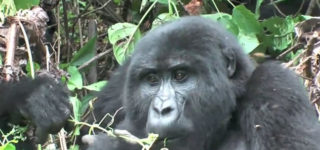 How Gorillas adapt to their Environment