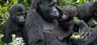4 Days Gorilla Safari
