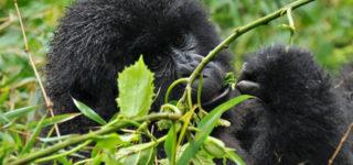 1 Day Rwanda Gorilla Safari
