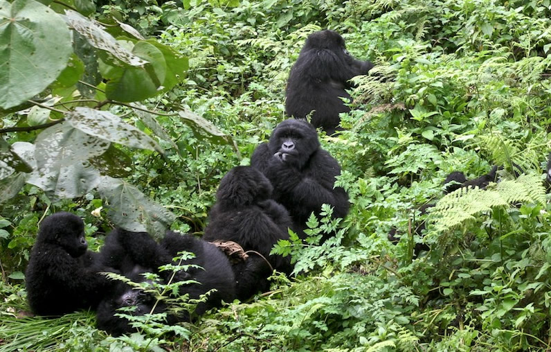 Do Gorillas Live In Africa Bwindi Forest National Park