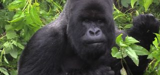 Susa Gorilla Group