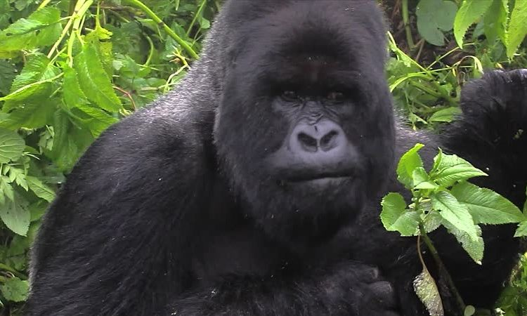 Susa Gorilla Group