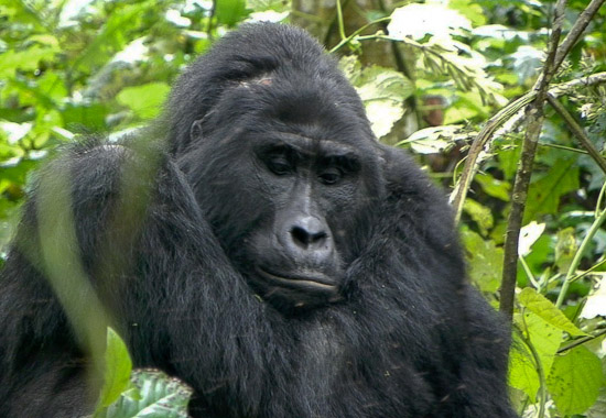 Bweza Gorilla Group