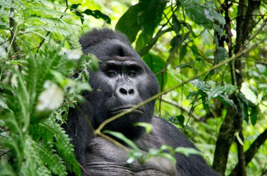Nkuringo Gorilla Group