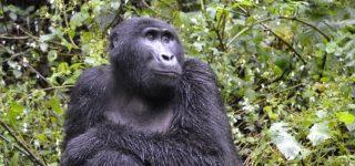 Rushegura Gorilla Group