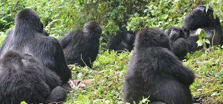 Sabyinyo Gorilla Group