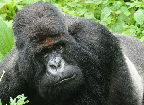 Titus Gorilla Group