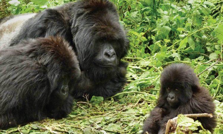 Ugenda Gorilla Group