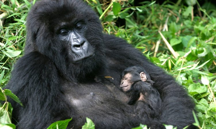 Reasons why Gorillas are Poached