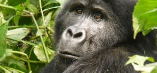 What Mountain Gorillas Eat